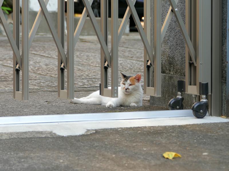 門扉の下にいる白三毛猫2