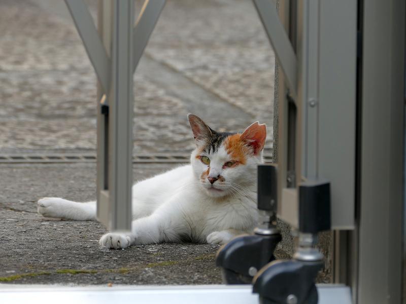 門扉の下にいる白三毛猫3
