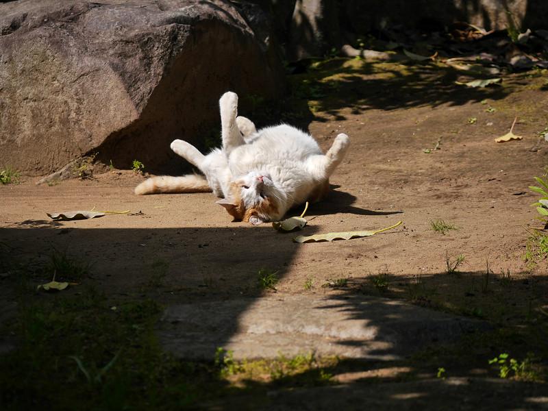 転がっている白茶猫3