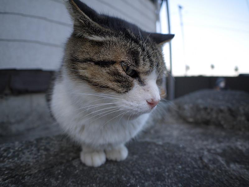夕暮れ青空とキジ白猫2