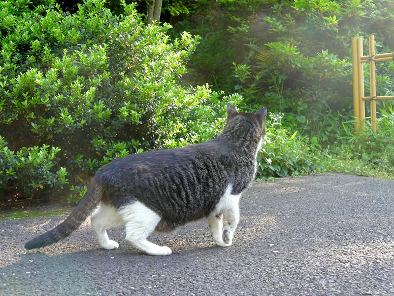 首を伸ばして見ているキジ白猫2