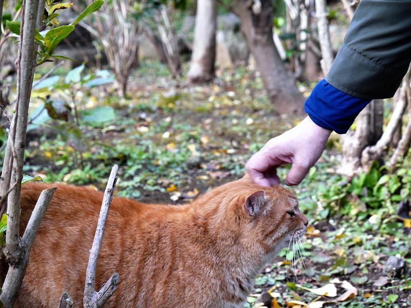 頭を撫でられる茶トラ猫2