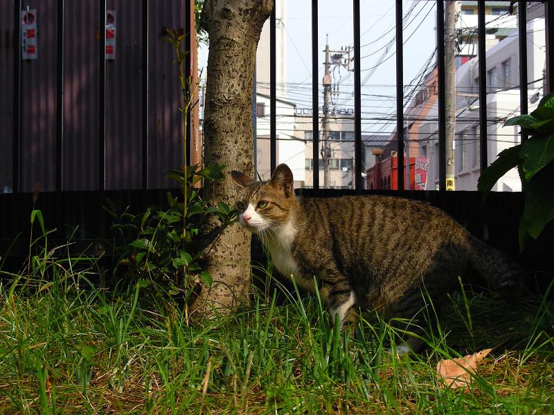 草むらから見ているキジ白猫1