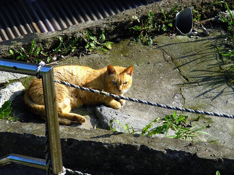 階段の途中で睨んでる茶トラ猫1