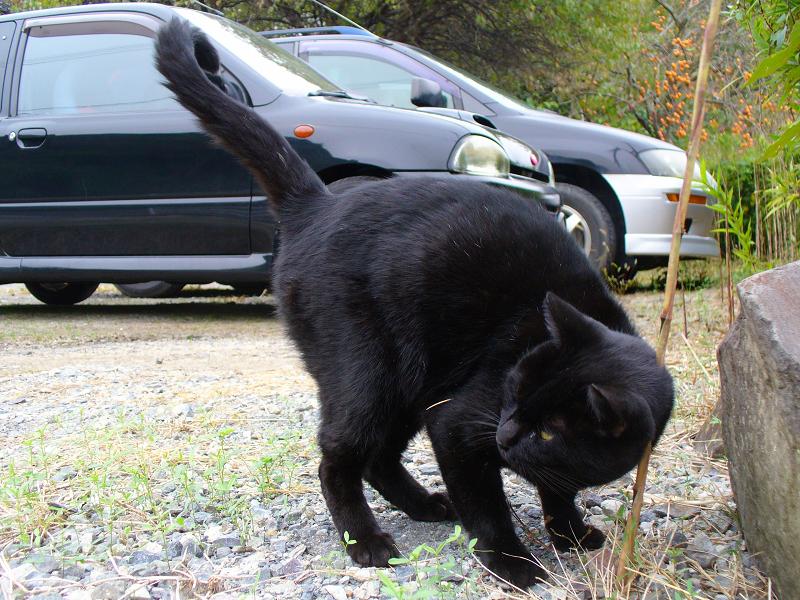 全身を見せた黒猫1