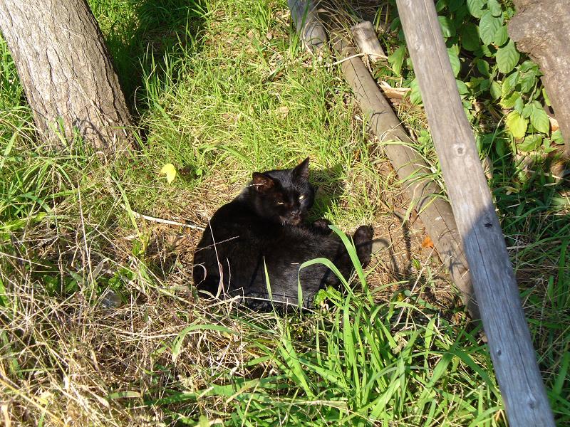 草むらで寝てる黒猫