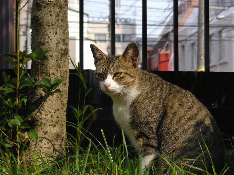 草むらから見ているキジ白猫2