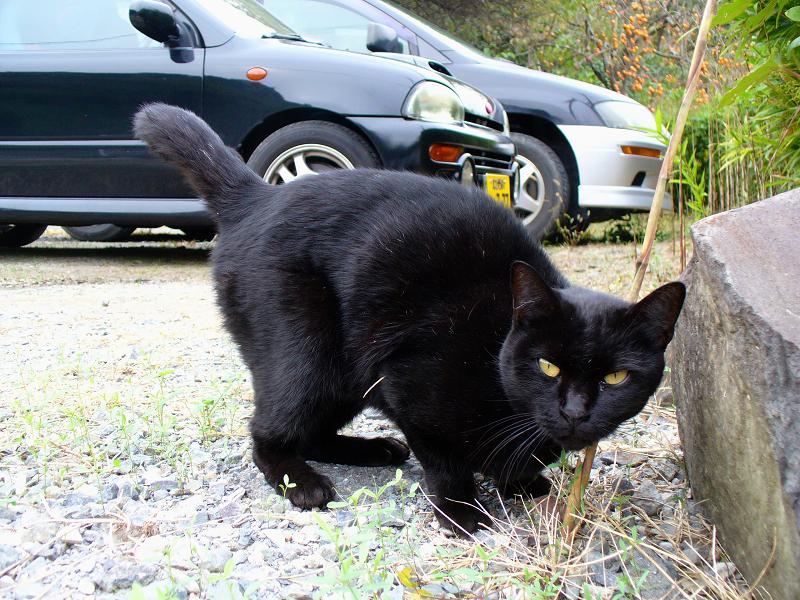 全身を見せた黒猫2