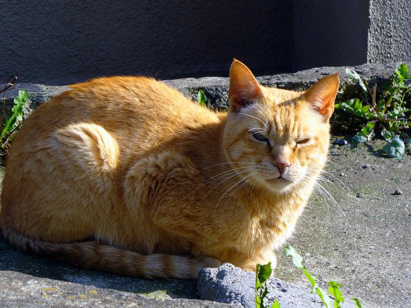 階段の途中で睨んでる茶トラ猫2