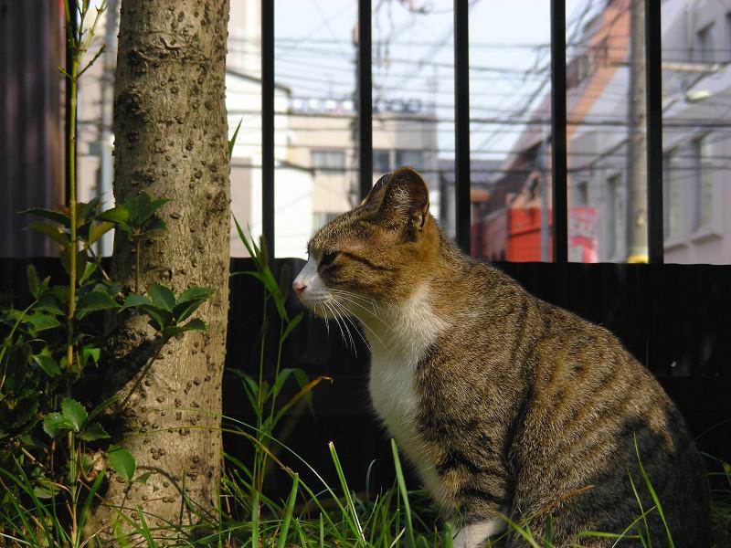 草むらから見ているキジ白猫3