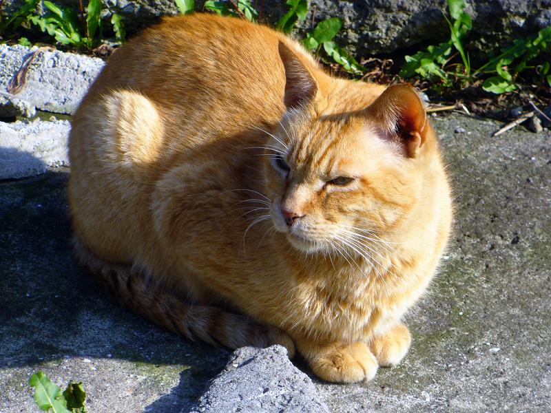 階段の途中で睨んでる茶トラ猫3