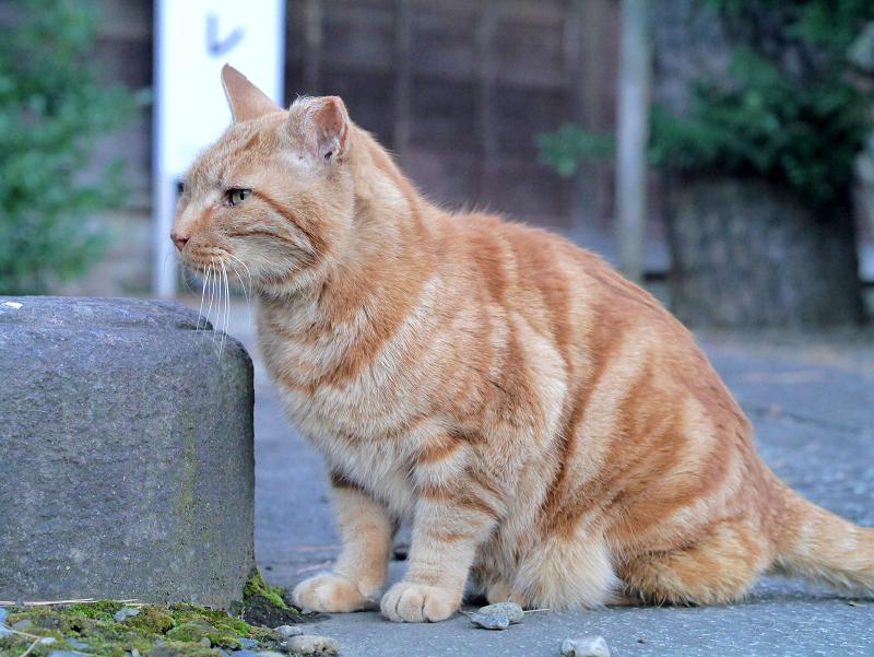 岩の横で佇むアメショー風猫1