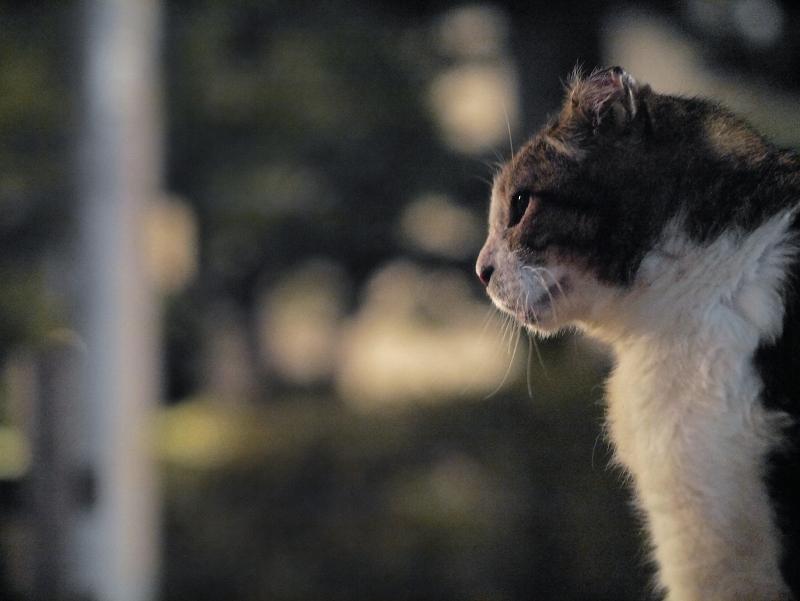 夕暮れキジ白猫の横顔