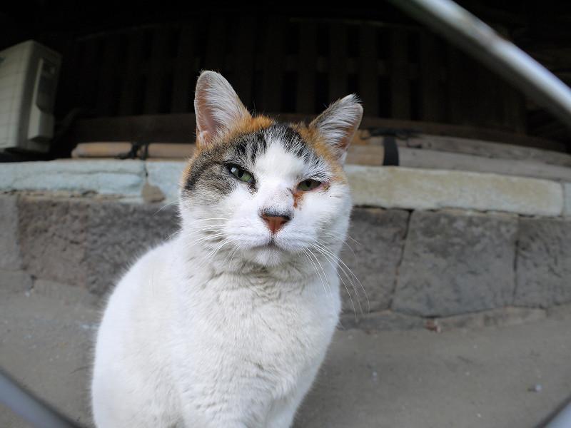 目が開き出した白三毛猫4