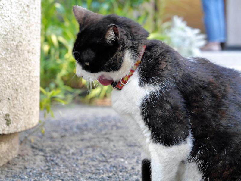 境内で座ってる黒白猫2