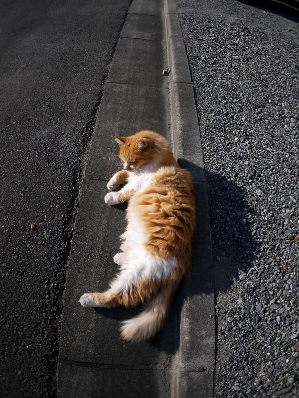 側溝の蓋の上で横になった毛長の茶白猫1