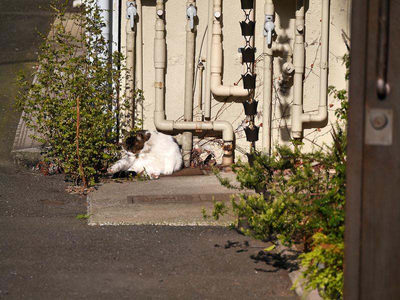 パイプと白キジ猫1