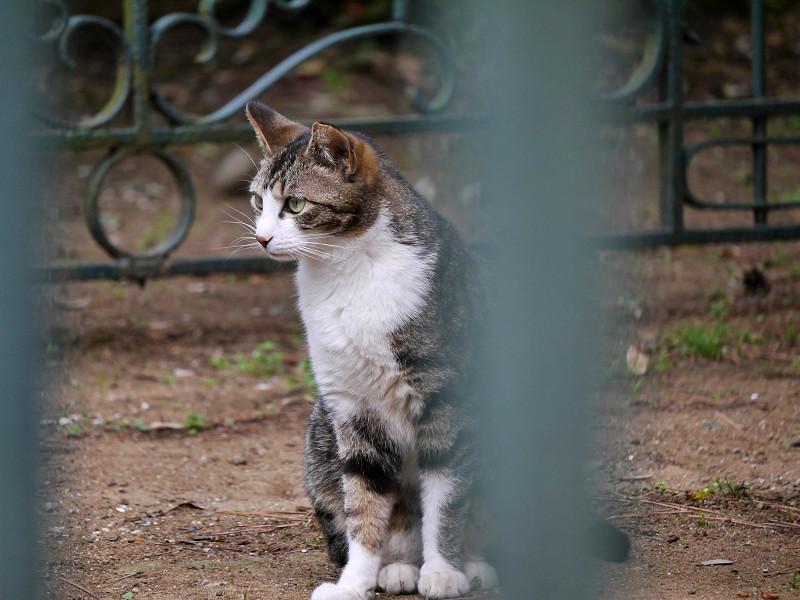 左右を見ているキジ白猫1