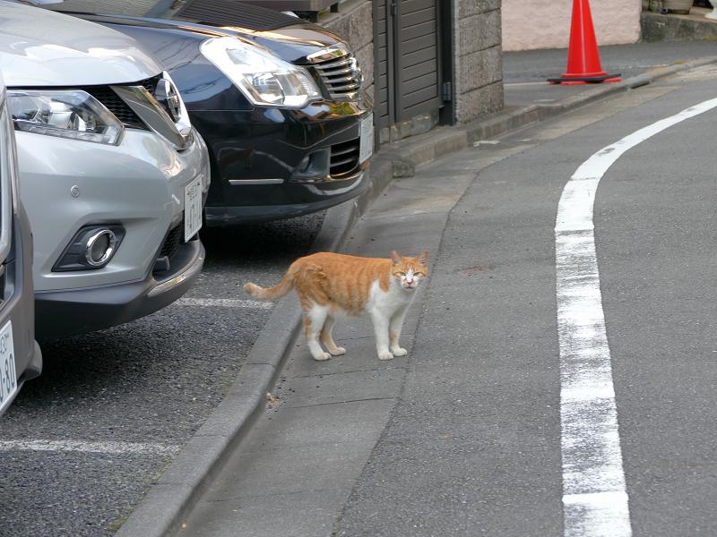 道路に出てきた茶白猫2