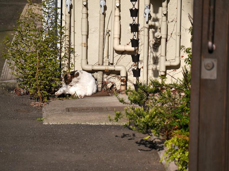 パイプと白キジ猫2