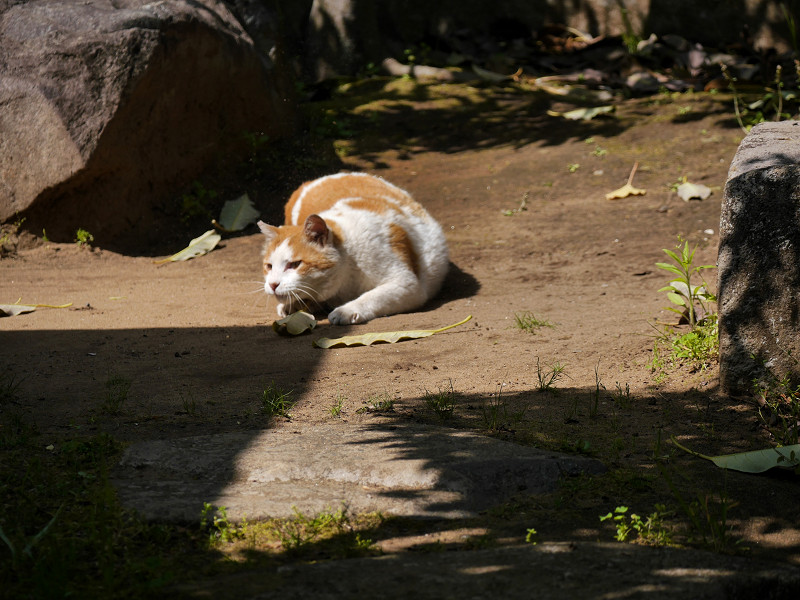 いきなり動いた白茶猫2