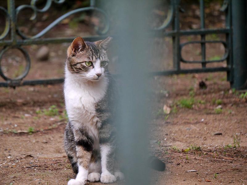 左右を見ているキジ白猫2
