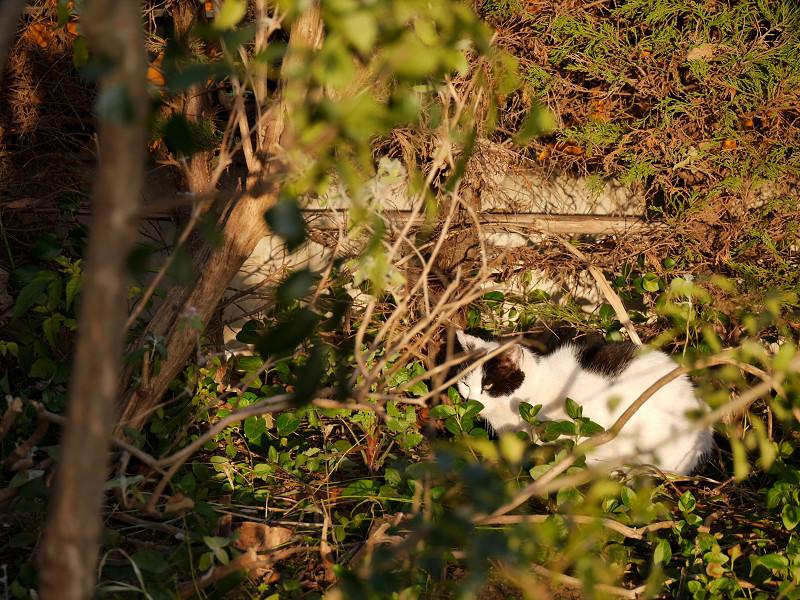 陽が当たる草むらで寝ている白黒猫3