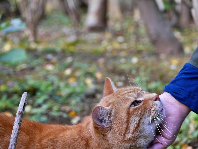 手に顎を乗っけてる茶トラ猫2