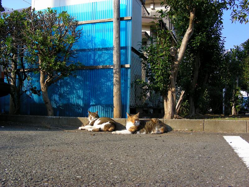 駐車場で寝てる猫たち1