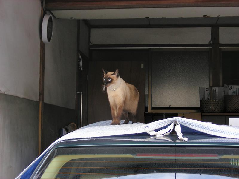 車のルーフの洋風猫1