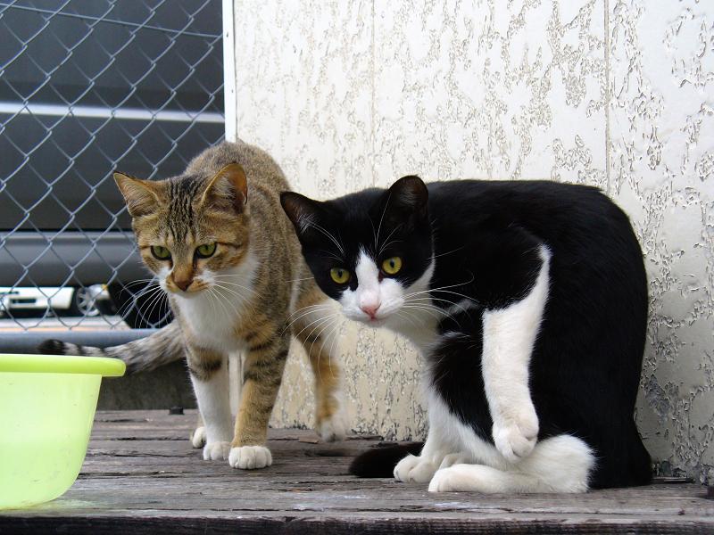 キジ白猫と黒白猫1