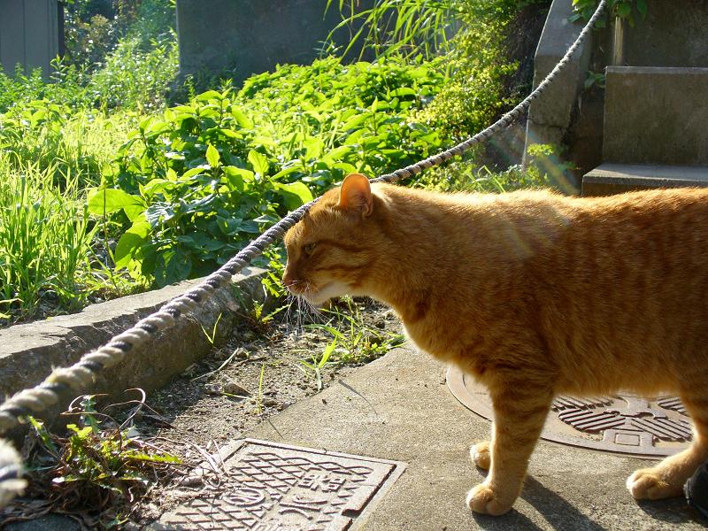 階段に出てきた茶トラ猫1