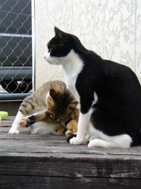 キジ白猫と黒白猫2