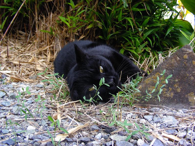 撫でられた黒猫3