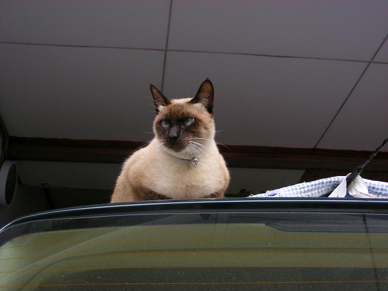 車のルーフの洋風猫3
