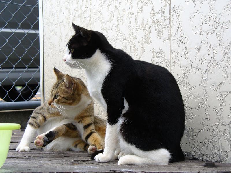 キジ白猫と黒白猫3