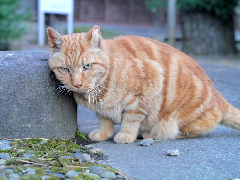 岩に体を擦り付けるアメショー風猫1