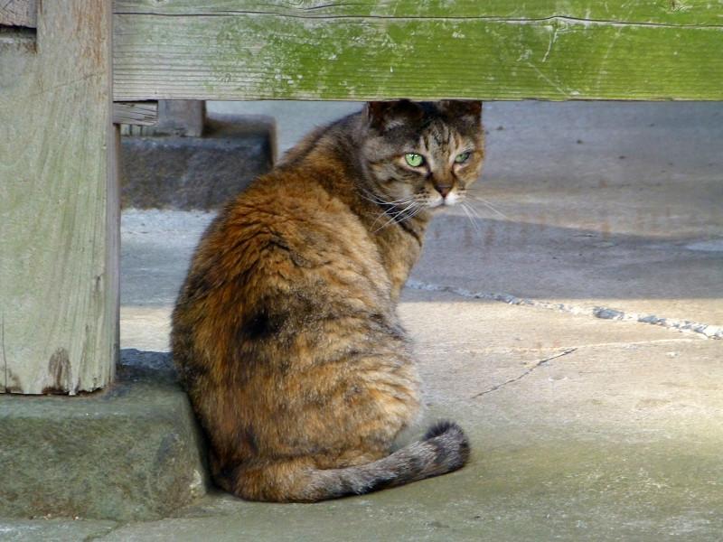 振り返るサビ柄の猫2
