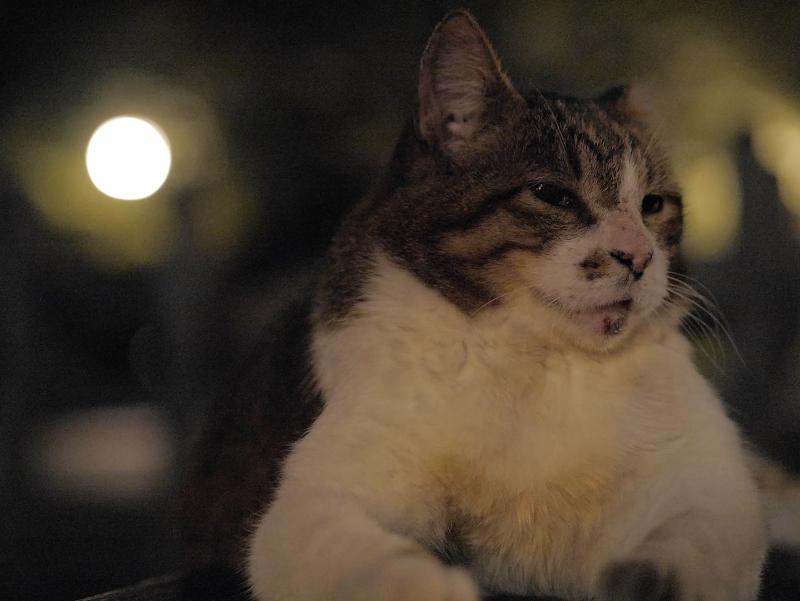 外灯とキジ白猫3