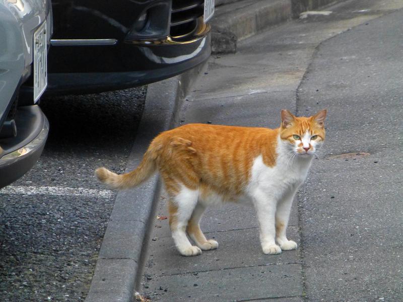 道路に出てきて鳴いている茶白猫1