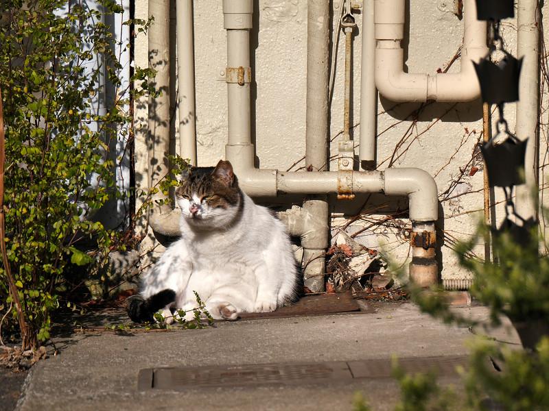 パイプの前の白キジ猫1