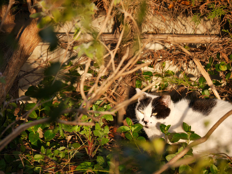 陽当り良好で寝る白黒猫1