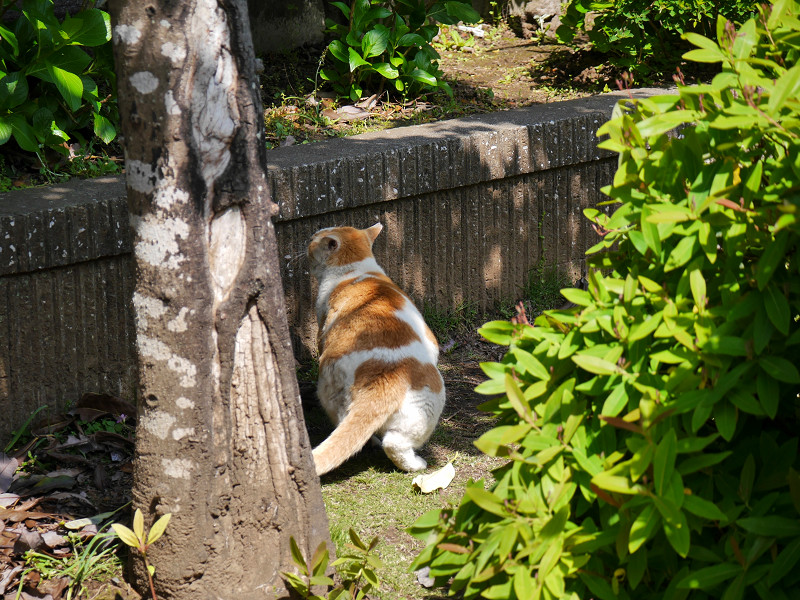 飛び上がった風の白茶猫1