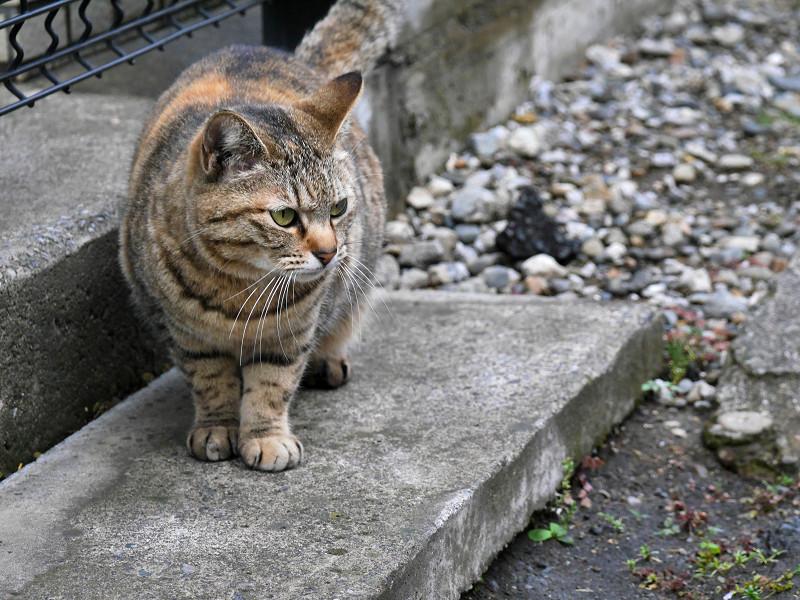 玄関ステップのキジトラ猫1
