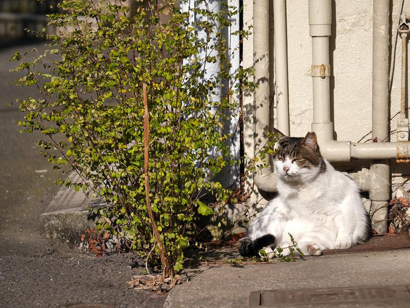 パイプの前の白キジ猫2