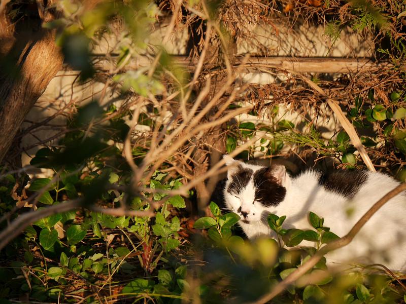 陽当り良好で寝る白黒猫2