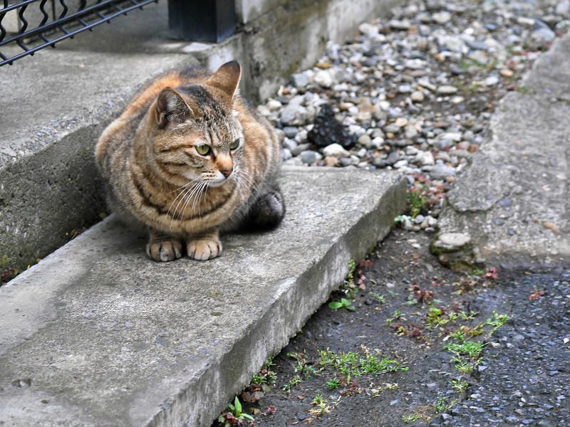 玄関ステップのキジトラ猫2