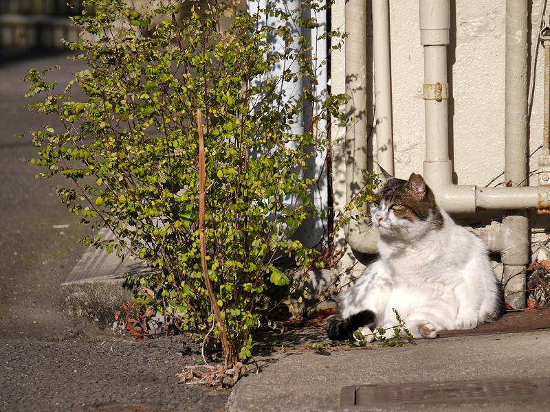 パイプの前の白キジ猫3