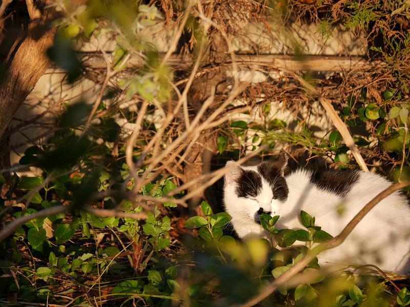 陽当り良好で寝る白黒猫3