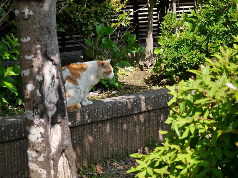 飛び上がった風の白茶猫3